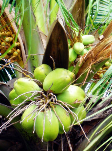 kokosový tuk nutrifit